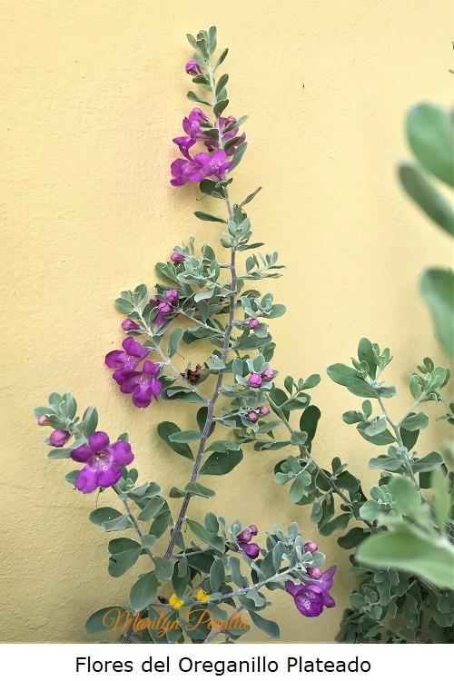 Flores del Oreganillo Plateado