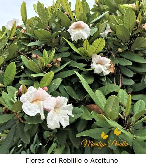 Flores del Roblillo o Aceituno