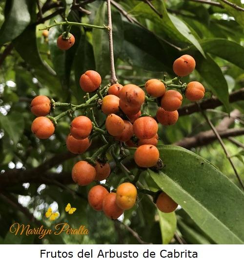 Frutos del Arbusto de Cabrita