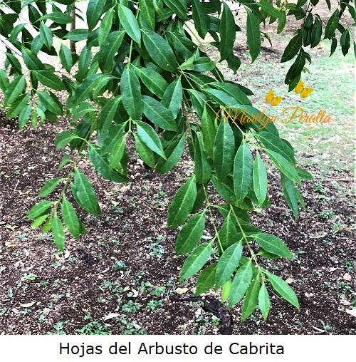 Hojas del Arbusto de Cabrita