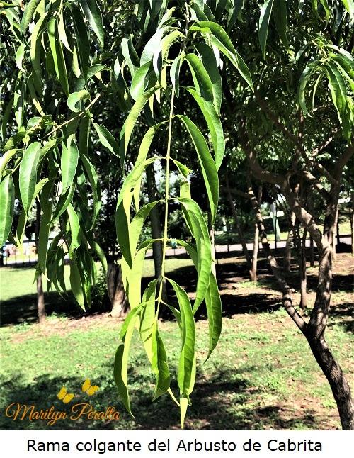 Rama colgante del Arbusto de Cabrita