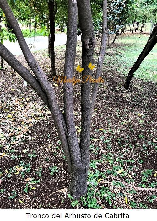 Tronco del Arbusto de Cabrita