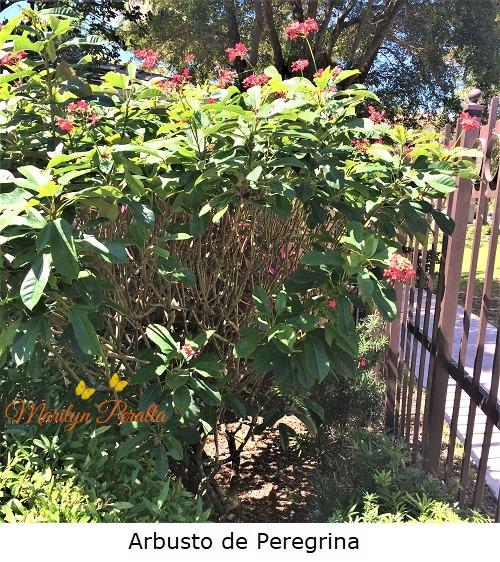 Arbusto de Peregrina