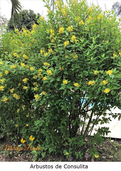Arbustos de Consulita