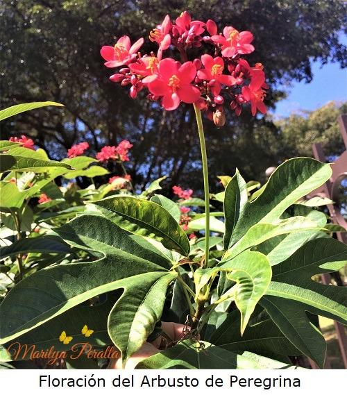 Floracion del Arbusto de Peregrina