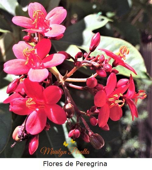 Flores de Peregrina