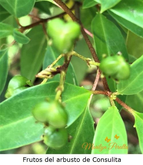 Frutos del arbusto de Consulita