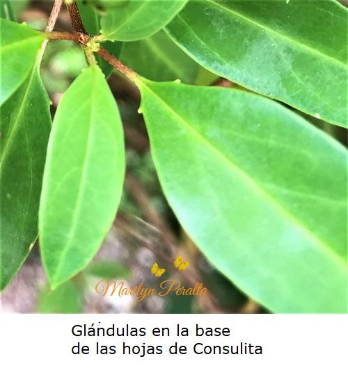 Glándulas en la base de las hojas de Consulita