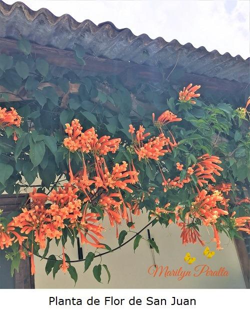 Planta de Flor de San Juan