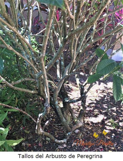 Tallos del Arbusto de Peregrina