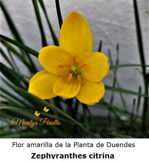Flor amarilla de la Planta de Duendes