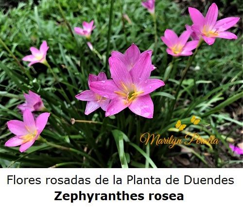 Flores rosadas de la Planta de Duendes