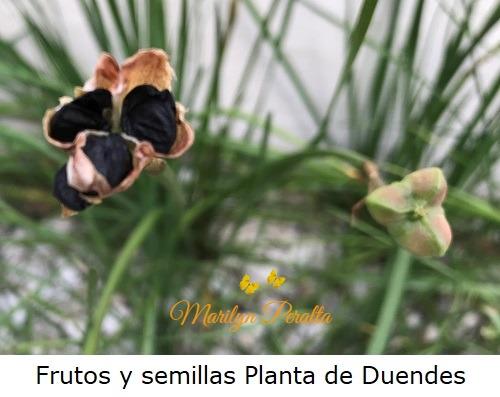Fruto y semillas de la Planta de Duendes