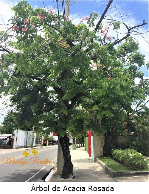 Arbol de Acacia Rosada 1