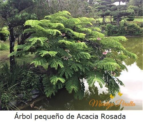 Arbol de Acacia Rosada