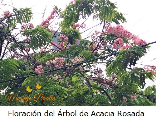 Floracion de la Acacia Rosada 1