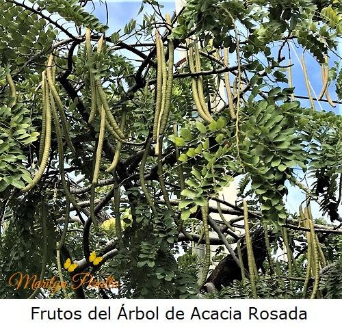 Frutos del Árbol de Acacia Rosada