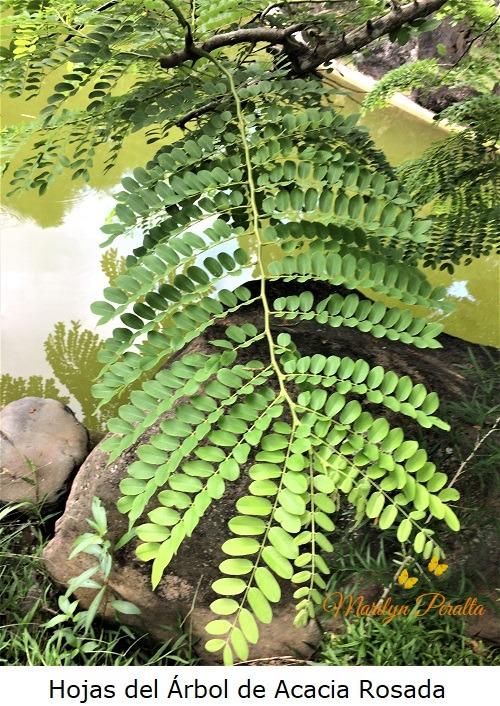 Hojas del Arbol de Acacia Rosada