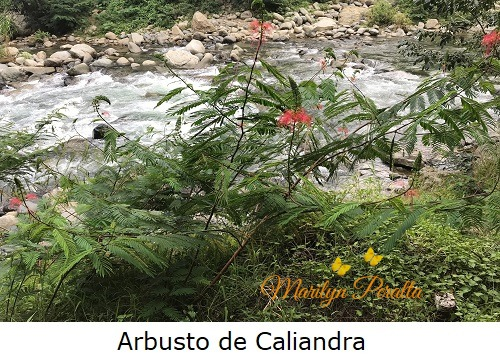 arbusto de caliandra