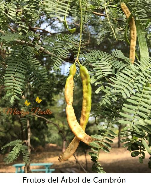 frutos del arbol de cambron