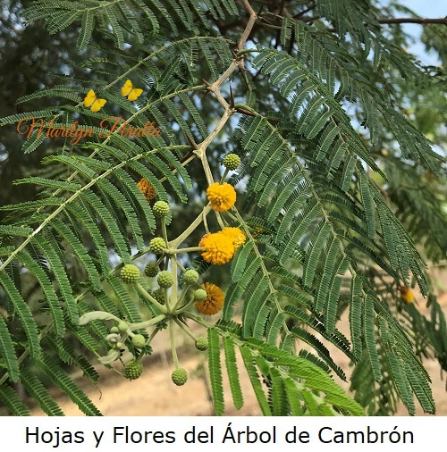 hojas y flores del arbol de cambron