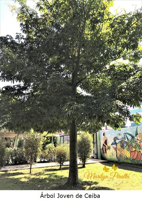 Arbol joven de Ceiba