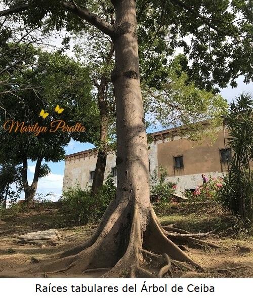 Raices tabulares del Arbol de Ceiba
