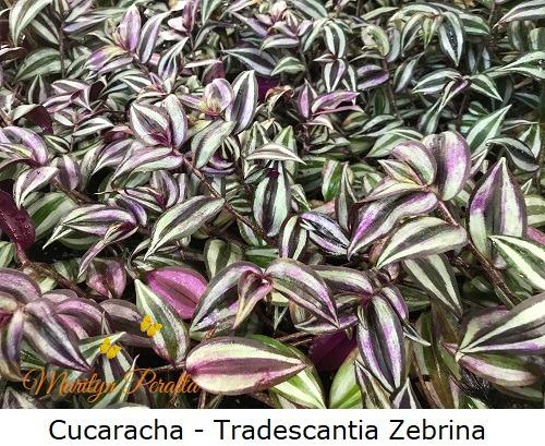 Cucaracha - Tradescantia Zebrina
