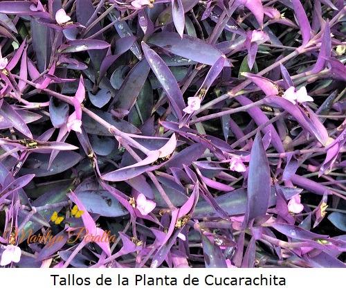 Tallos de la Planta de Cucarachita