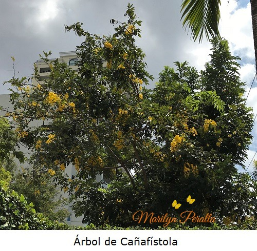 Arbol de Cañafistola