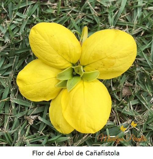 Flor del Arbol de Cañafistola