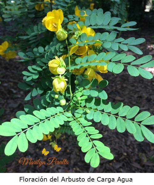 Floracion del Arbusto de Carga Agua