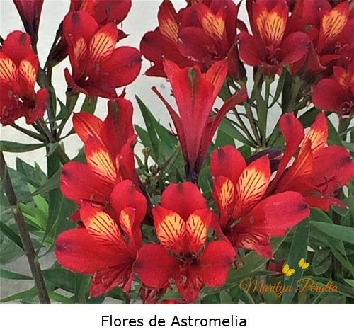 Flores de Astromelia