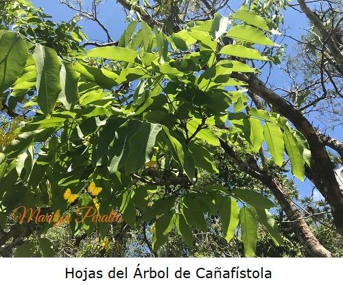 Hojas del Arbol de Cañafistola