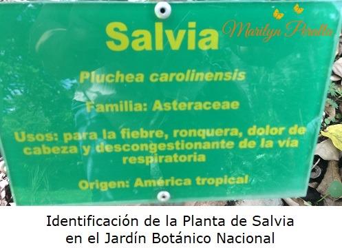 Identificacion de la Salvia en el Jardin Botanico Nacional