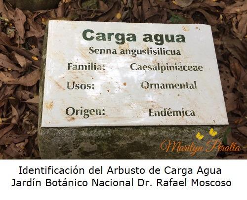 Identificacion del Arbusto Carga Agua - Jardin Botanico