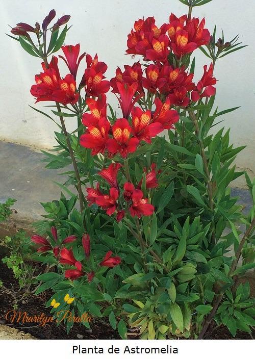 Planta de Astromelia