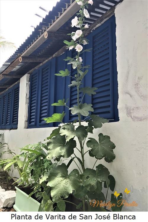 Planta de Varita de San Jose blanca