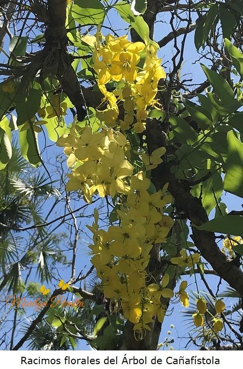 Racimos florales del arbol de Cañafistola