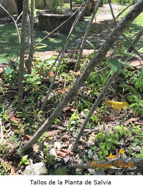 Tallos de la Planta de Salvia