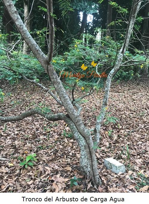 Tronco del Arbusto de Carga Agua