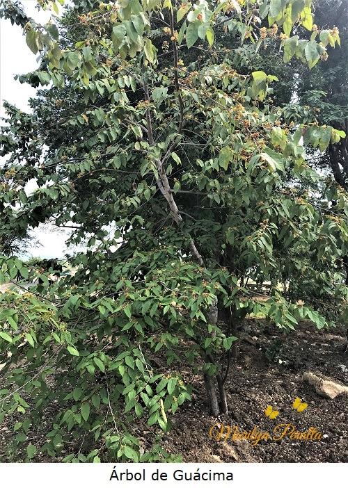 Arbol de Guacima