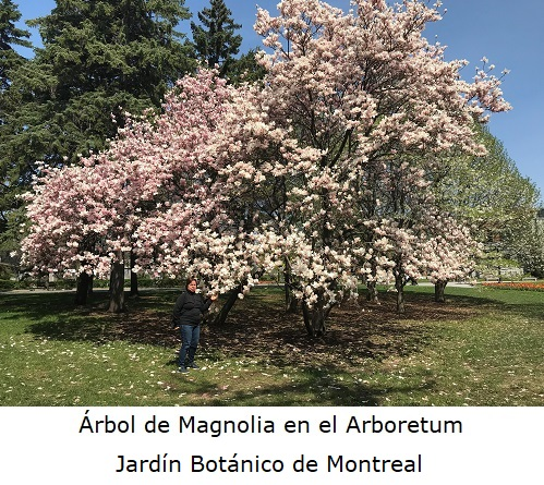 Arbol de magnolia en el Arboretum