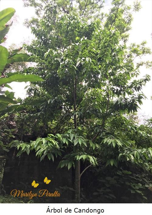 Árbol de Candongo