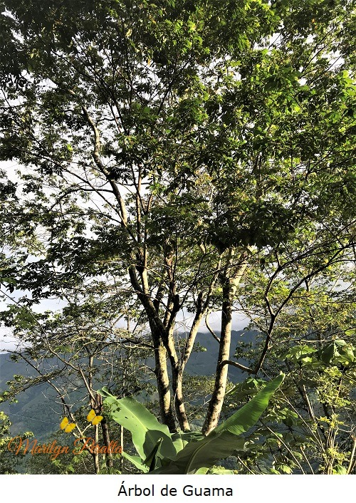 Árbol de Guama