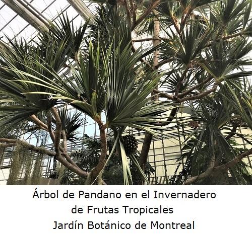 Árbol de Pandano en el Invernadero Frutas tropicales
