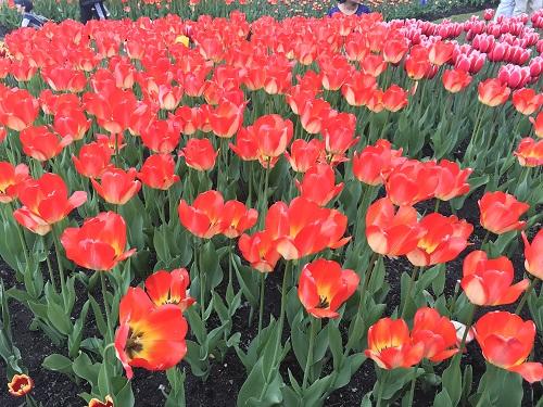 Festival de los Tulipanes 3