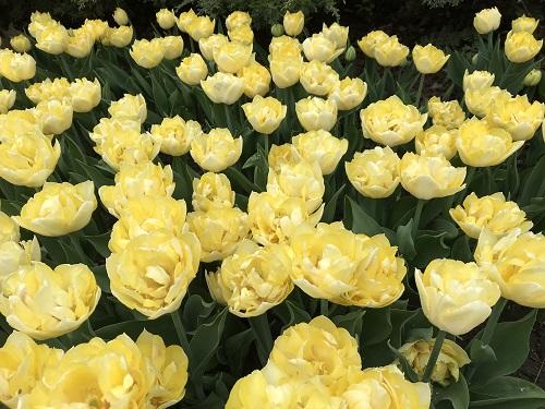 Festival de los Tulipanes 4