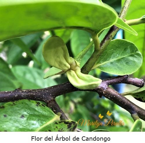 Flor del Arbol de Candongo