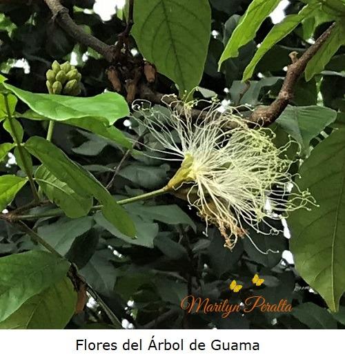 Flor del Arbol de Guama
